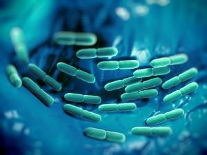 Lactobacillus bacteria.